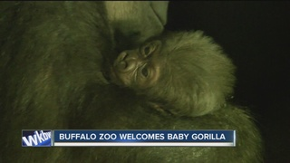 Baby gorilla attracts crowd at zoo