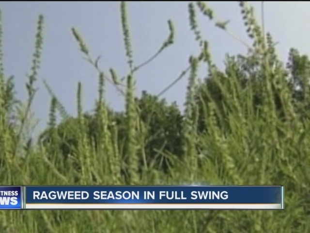 Ragweed season in full swing