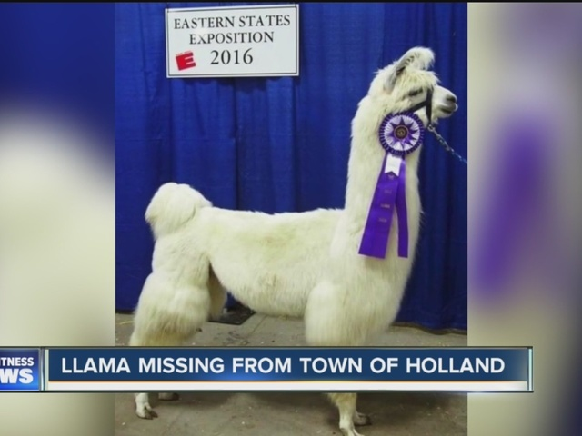 Llama goes missing in Town of Holland