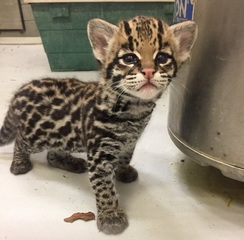 Vote to name the ocelot kitten at the Zoo
