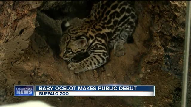 Baby ocelot named Nico at Buffalo Zoo
