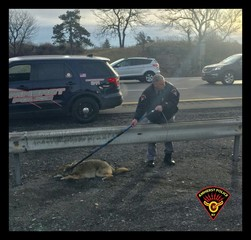 Injured coyote on the I-290