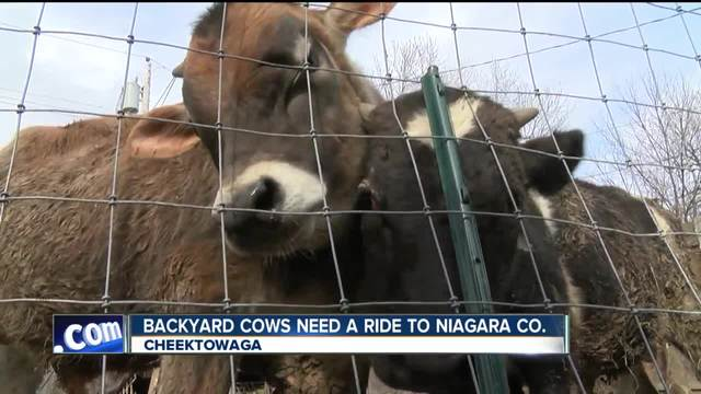Cheektowaga backyard bulls need a ride to Niagara Co-