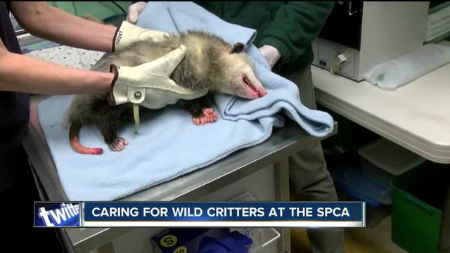 Caring for wild critters at the SPCA