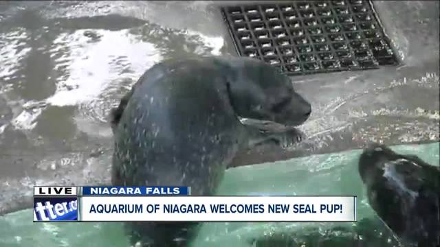 Baby seal pup makes debut at The Aquarium of Niagara