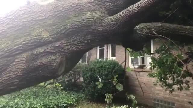 Hamburg maple trees down