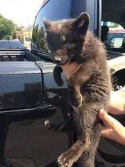 Woman accused of trying to sell arctic fox pup