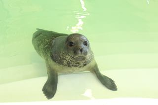 Special seal joins the Aquarium of Niagara