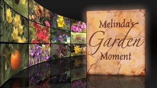 Melindas Garden Moment: Forcing Bulbs to...