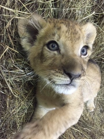 A Very Por Name For Baby Boy The Origin Of This Is Arabic And It Means Powerful Lion Strongest In Pride