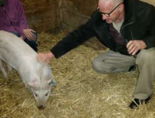 Pig who was stabbed finds a new home
