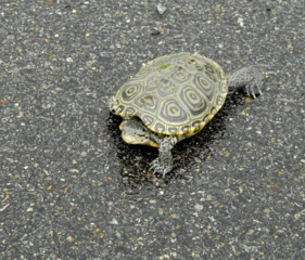 Alert: watch for turtles crossing the road