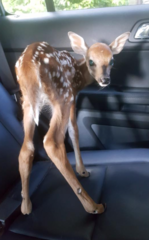 Bambi in the back seat of a police car