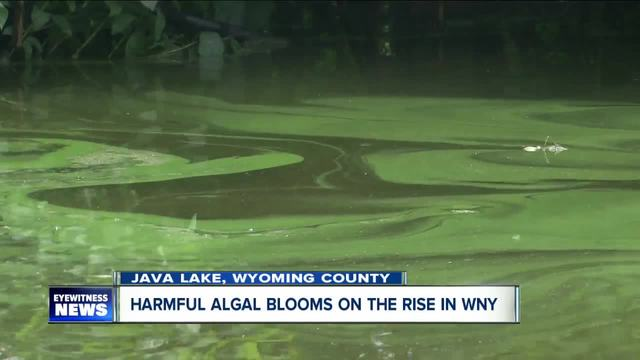 harmful algal blooms found in several wny lakes