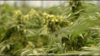 NY to allow medical marijuana lozenges & lotions