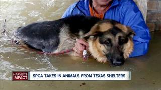 SPCA is Taking in Dogs From Other Shelters