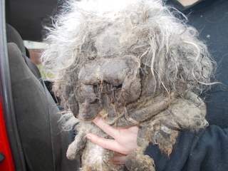 Extremely matted and neglected dog rescued