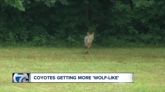 Scientists say coyotes in WNY look more like wolves