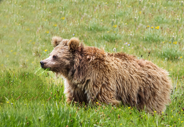 Scientists junk 'yeti' claim, attribute DNA sample to Himalayan brown bear
