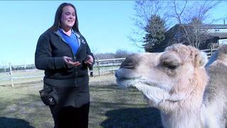 Making a camel comfy at Hawk Creek