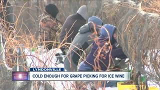 Cold enough to pick grapes for ice wine