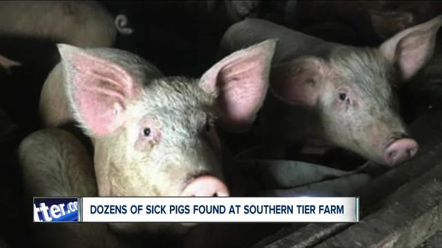85 pigs found in -atrocious- conditions in Cattaraugus County--6PM