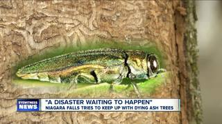 Niagara Falls tries to keep up with dying ash tr