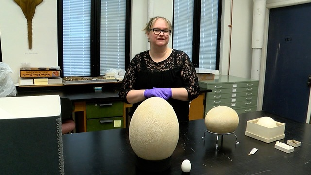 Museum realizes fake 'elephant bird' egg is actually real
