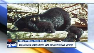 CUTE ALERT: Bears caught on cam on NYS trail
