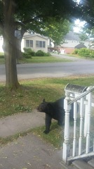 Rogue bear hit on 990 in Amherst