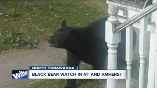 Black bear roaming North Tonawanda and Amherst