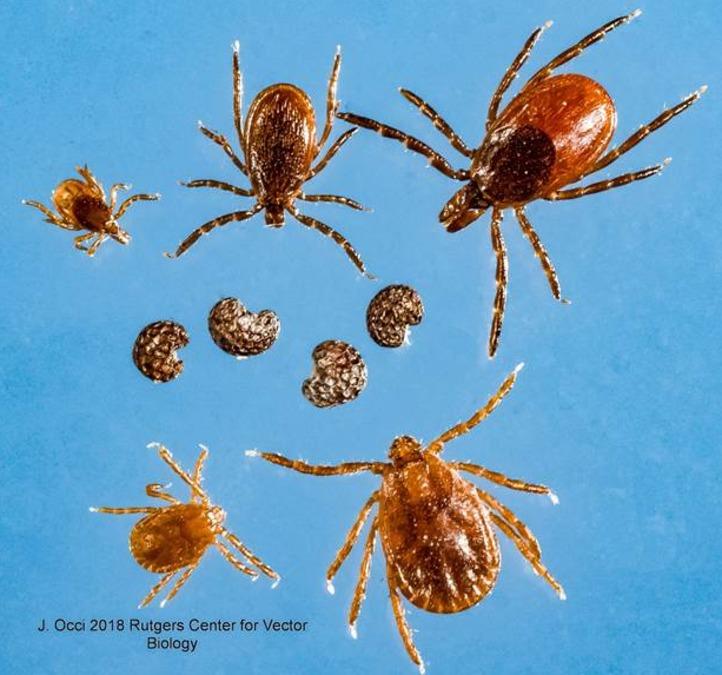 new tick species found in new york