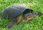 Man fined for killing snapping turtle