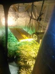 Marijuana growing operation found in Gowanda