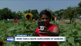 Second Year of Sunflower Field Expects Big Crowd