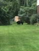 Lewiston bear sighting