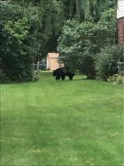Lewiston bear sighting