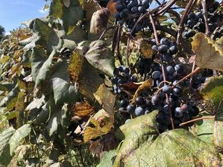 WNY grape growers get state help