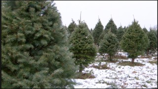 How does this season's Christmas tree crop look?